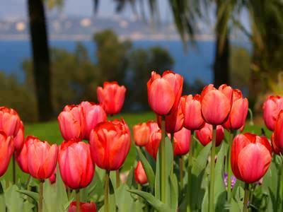 Puzzle Fleurs Tulipes - Jeux gratuits en ligne