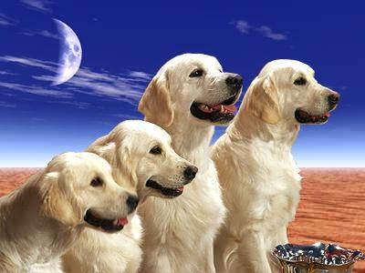 puzzle chiens labradors jeux gratuits en ligne. Black Bedroom Furniture Sets. Home Design Ideas