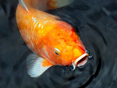 Casse t te quotidien 2012 10 07 orange koi for Golden ornamental pond fish crossword