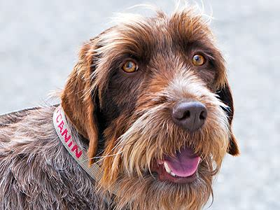 Wirehaired Griffon Puzzle casse-tête - JigZone.com